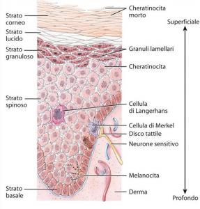 Strati del derma